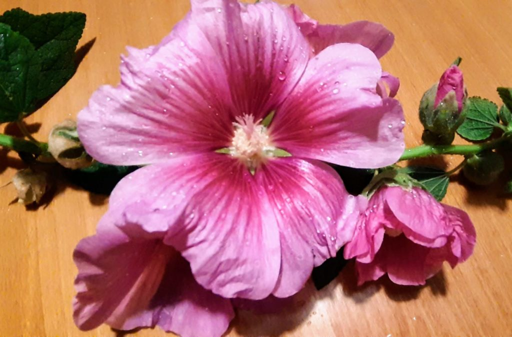 medtitacny kvet