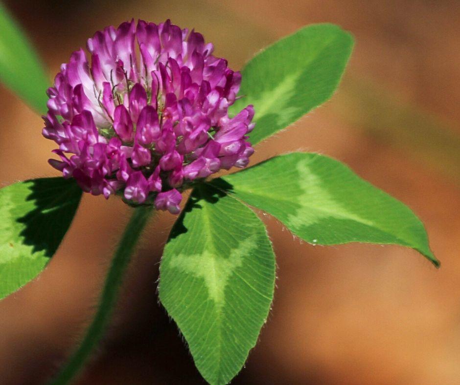 bylinka kvet dateliny